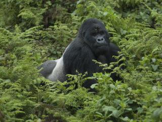 Silverback, Rwanda