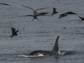 Orca, Genovesa Island