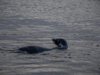 Sea-lion in liquid silver, Rabida Island